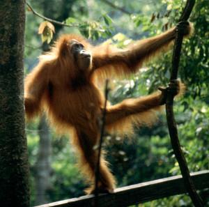 Orángután Szumátrán